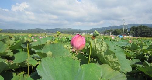 IMG_20140908-003蓮華のお花♪.jpg