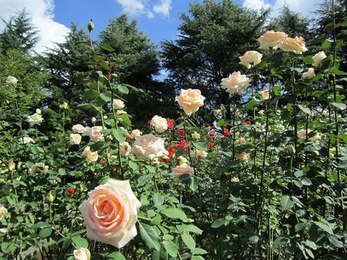 IMG_20141017-001バラ園♪.jpg
