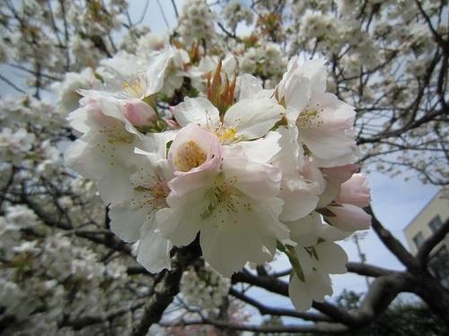 IMG_20150422-002八重桜♪.jpg